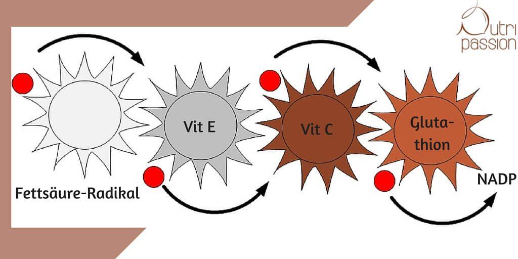 Vereinfachter, idealisierter Transport einer Radikal-Ladung von der Entstehung im lipophilen Bereich (z.B. Zellmembran) bis zur Entsorgung über NADP/NADPH.
