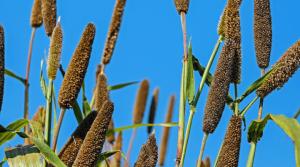 hirse-pflanze